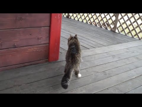 Cat Walk video