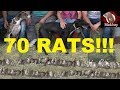 70 RATS! NEW RECORD!!! Mink and Dogs Eradicate Rats.