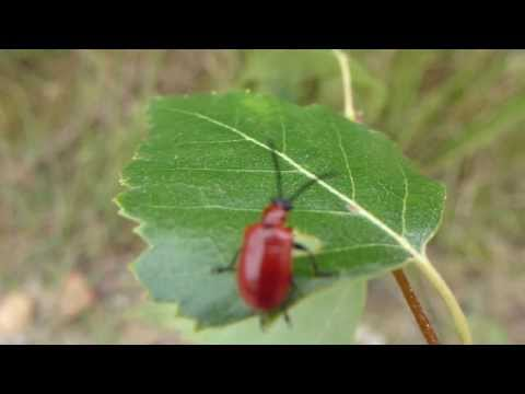 Scarlet lily beetle - Rauð Liljubjalla  3  -  flýgur burt