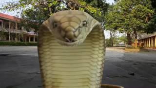 Cá sấu - Rắn hổ mang - máy bay