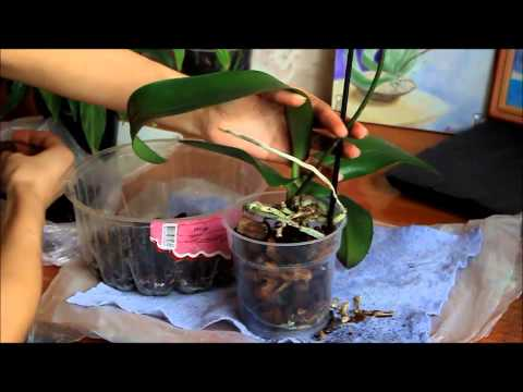 Лечение орхидеей в домашних условиях