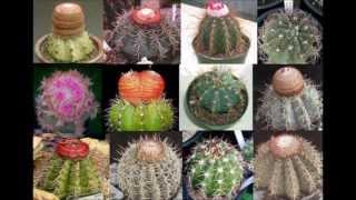 Jacques Dutronc Les Cactus