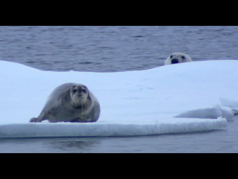 Ninja Polar Bear Attacks Bearded Seal Fail - Narrated by David Tennant