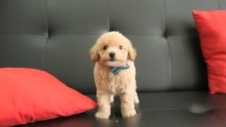 Brown Toy Poodle Super Cute and High Quaity