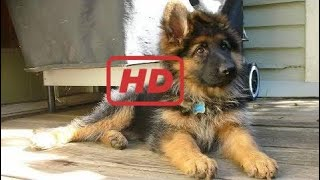 Funniest & Cutest German Shepherd Puppies #5 - Funny Dogs Compilation 2018