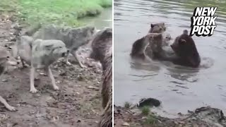 Bears rip wolf to shreds in brutal zoo attack