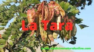 LA  TARA - PROPIEDADES - LAS PLANTAS CURATIVAS