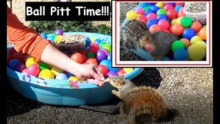 A lot of Balls and Squirrels! Squirrels Do Love A Good Ball Pit!!!