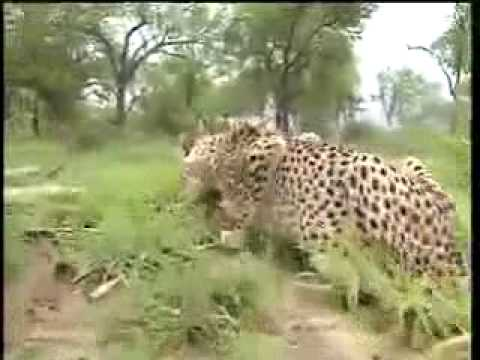 Lion vs Tiger: Rewilding South China Tigers in Africa