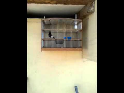 Trini Bullfinch....hawk Eye. video