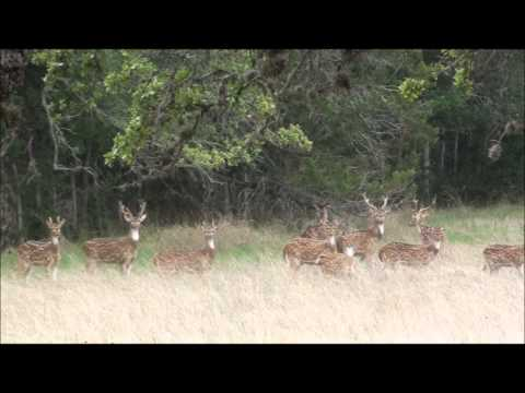 Axis Deer Herd in Texas Hill Country -- Music is Summer Day, by Kevin MacLeod from Incompetech.com.
