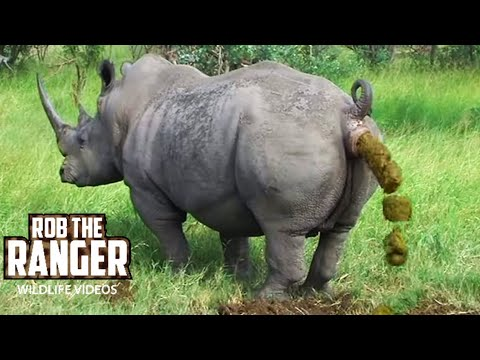 Endangered Southern White Rhino Marking His Territory