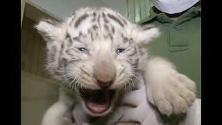 Ra mắt hổ trắng Bengal ở sở thú Áo (VOA)
