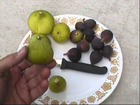 Eating and comparing some fig varieties