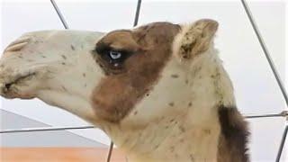 World's tallest camel, spotted at King Abdulaziz Camel Festival, Saudi Arabia