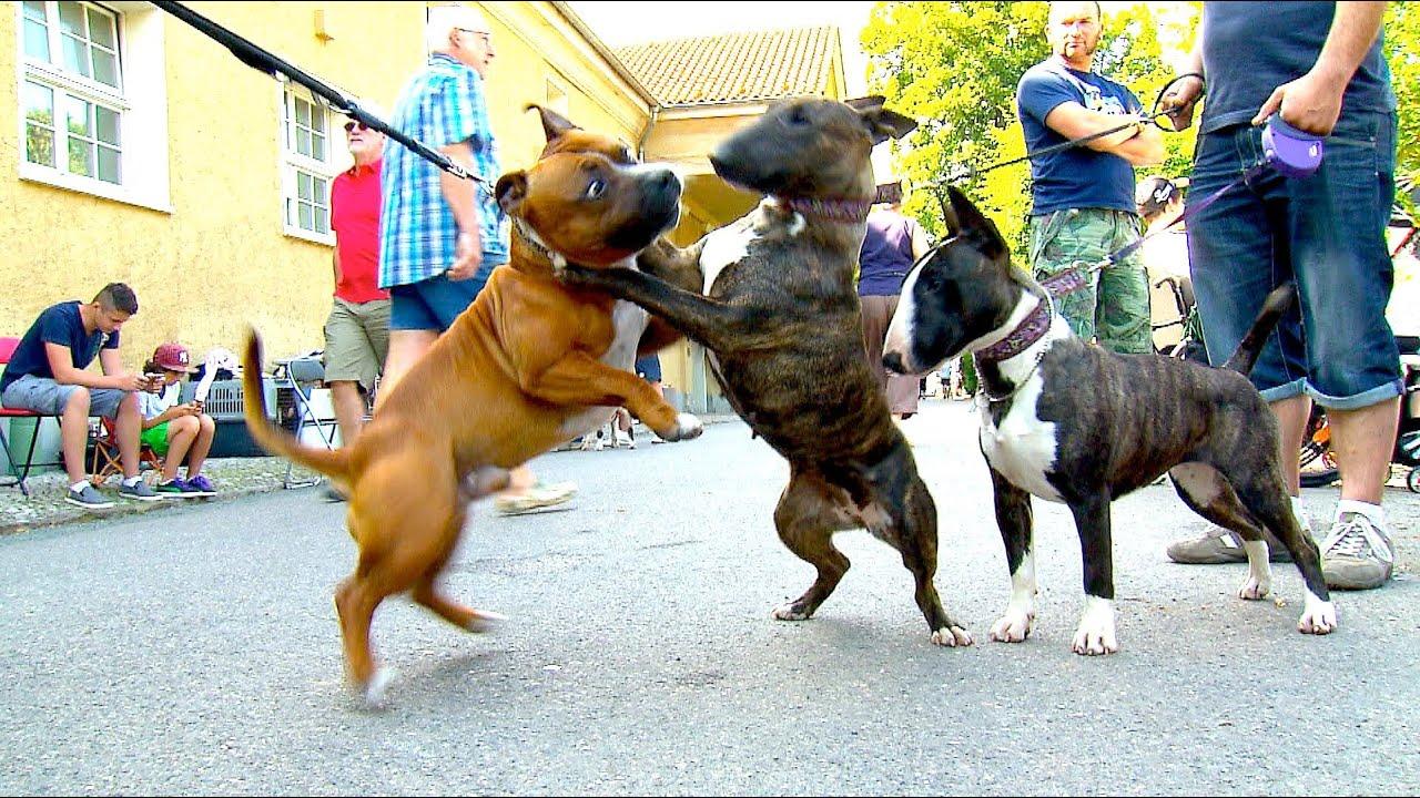 Dog Show Staffordshire