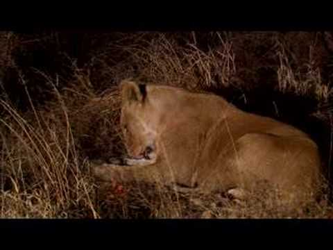 Injured lioness improves