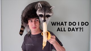 A Day in the Life of a Pet Raccoon