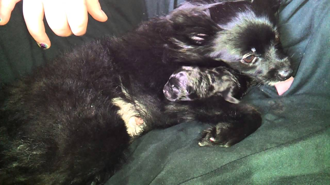 New Pup - Min Pin/Chihuahua Mixed with pomeranian - YouTube