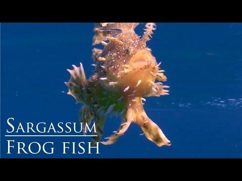 download lagu Sargassum Frogfish Swimming  - Koh Tao Thailand gratis