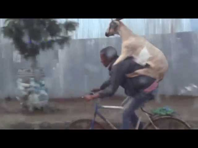 A Goat Riding a Man Riding a Bike