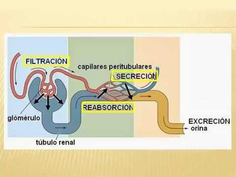Filtracion glomerular Medicina UVM Queretaro