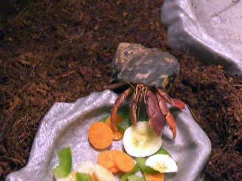 The life of a Hermit Crab! Video