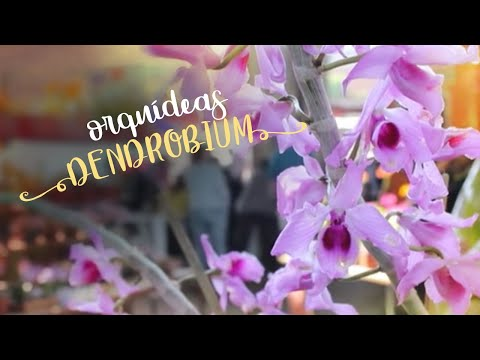 Como Cuidar de Orquídeas - Dendrobium para todos os gostos