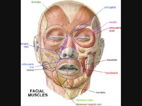 Cranial nerves face mnemonic