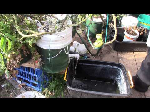 revisit a dutch bucket flush demo with a large fruit bearing plant