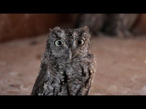 Night Baby Animal Baby Screech Owl Animal R&r