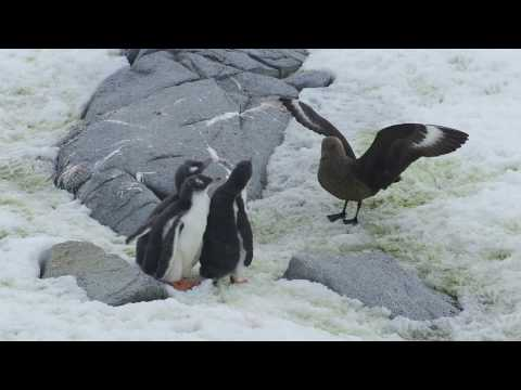 Crazy Wildlife Video: Skua Attacking Three Penguin Chicks at Port Lockroy