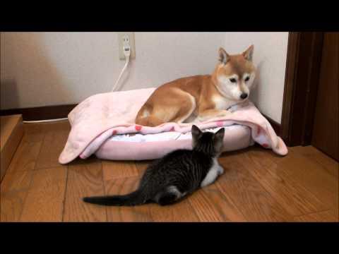子猫に見つめられて戸惑う柴犬 Shiba watched by kitten