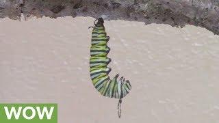 Time lapse captures caterpillar metamorphosis into chrysalis