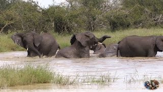 Elephant Herd Discover Water After A Two Year Drought In Kruger Park