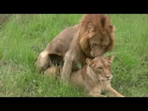 Lions Mating (twice - Watch To The End!): Sex Education Lesson From Mala Mala, South Africa video