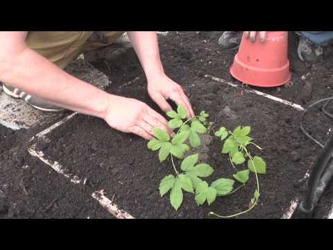 chop-brew-episode-06-growing-hops-at-home-part-1-.html