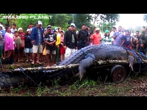 Los cocodrilos más grandes del mundo