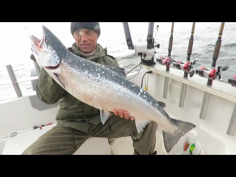 ловля балтийского лосося троллингом