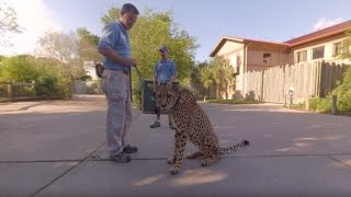 Houston Zoo Cheetah Walk in 360º