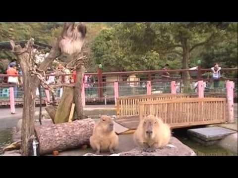 カピバラさんと、ナマケモノくん [Capybara]