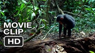Chimpanzee - Chimpanzee Movie CLIP - Hammer (2012) Disney Nature Movie HD