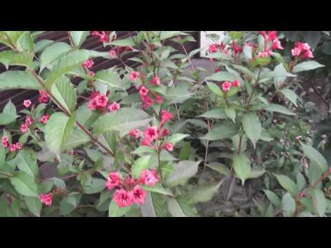 Вейгела (лат  Weigela)Цветет все лето и осень.