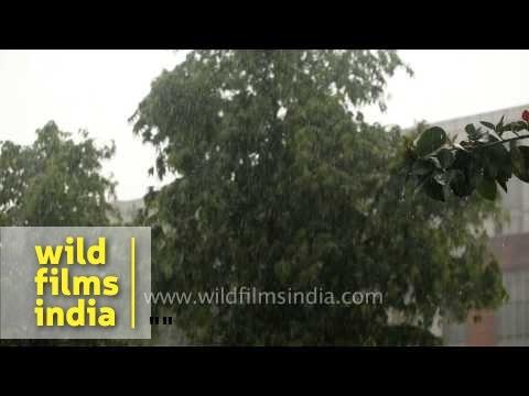 Green tree branches under the falling rain - Delhi