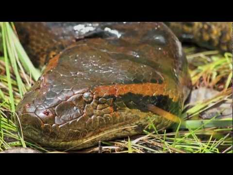 In Search of the Giant Green Anaconda (Eunectes murinus): Video