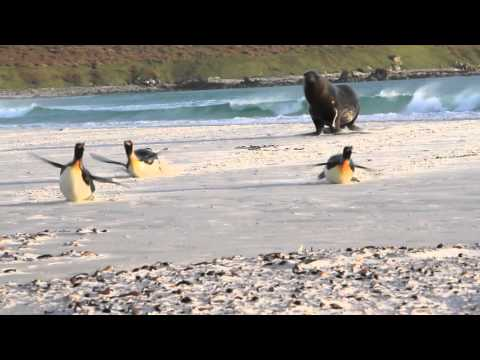 Sea lion chasing King Penguins