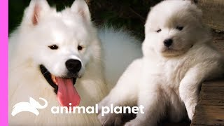 Fussy Samoyed Puppy Makes An Unlikely New Best Friend | Too Cute!