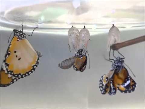 Eclosion of Plain Tiger butterflies