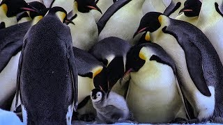Bereaved Penguins Attempt to Kidnap Young Chicks   BBC Earth