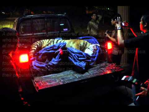 Grief blue Sumatran Tiger.wmv